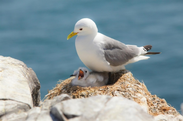 Numbers of black-legged kittiwakes have plunged by 77 per cent since the 1980s. Factors including climate change are blamed. Picture: RSPB Read more: http://www.scotsman.com/news/environment/world-seabird-populations-in-catastrophic-decline-1-3827960#ixzz3vesB5Im6 Follow us: @TheScotsman on Twitter | TheScotsmanNewspaper on Facebook
