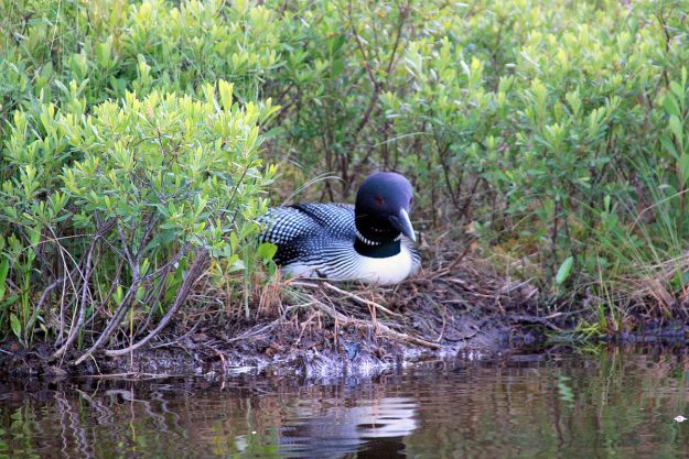 A Great Northern Loon on a nest in Maine. Photo by Dana Moos. CC BY-SA 2.o generic. Wikimedia Commons.