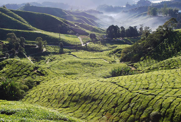Deforested landscape for tea cultivation in Malaysia. Photo by Myloismylife - Loke Seng Hon. CC BY-SA 3.o unported. Wikimedia Commons