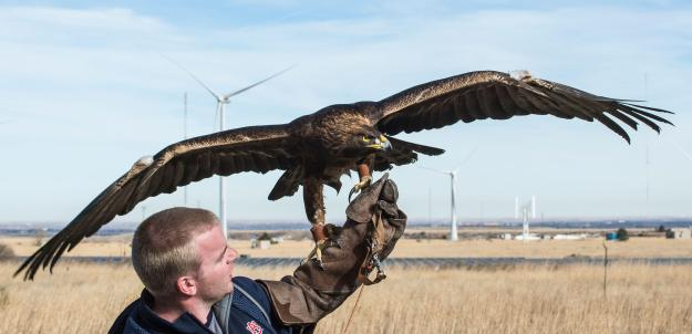 Auburn eagle handler Andrew Hopkins holds Nova (aka War Eagle 7), a 16-year-old Golden Eagle before a flight at the NWTC. Photo: Dennis Schroeder/NREL/Flickr CC (BY-NC-ND 2.0)