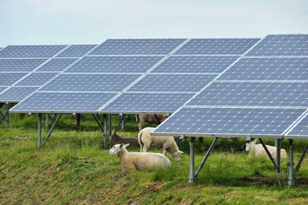 Solar panels and sheep at the biggest solar park of the Benelux. Photo by Antalexion. CC BY-SA 4.0. Wikimedia Commons.