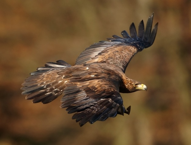 Golden Eagle (Photo by Martin Mecnarowski, CC BY SA, Wikimedia Commons)